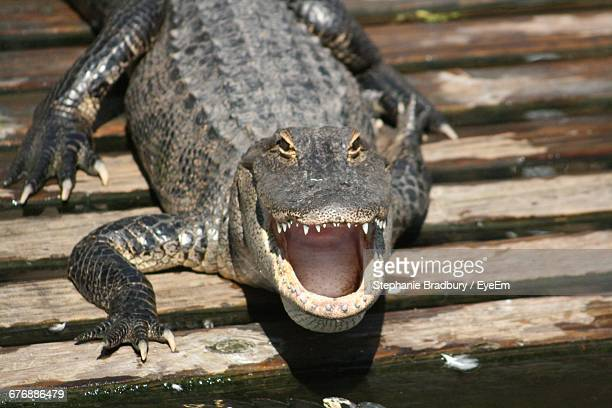 portrait of alligator on boardwalk - kissimmee stock pictures, royalty-free photos & images
