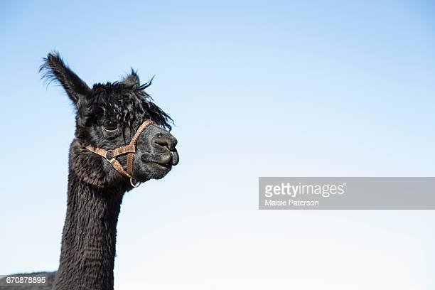Portrait of alpaca (Vicugna pacos) against blue sky