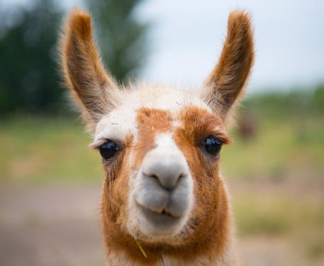 Portrait of Alpaca Llama in Chile 917487376