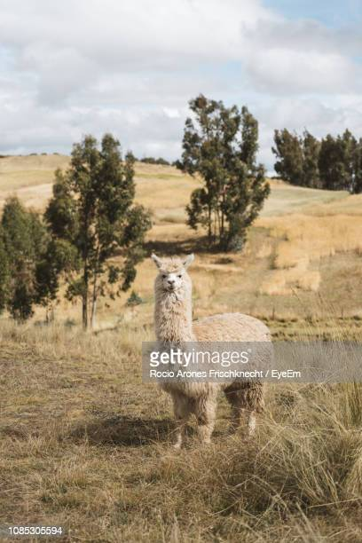 Portrait Of Alpaca On Field