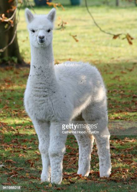 portrait of alpaca standing on field - lama stock pictures, royalty-free photos & images