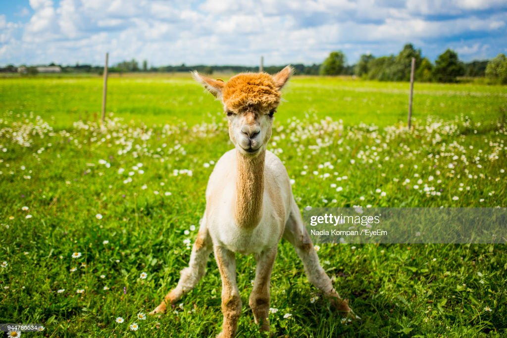 Portrait Of Alpaca Standing On Field : Stock Photo