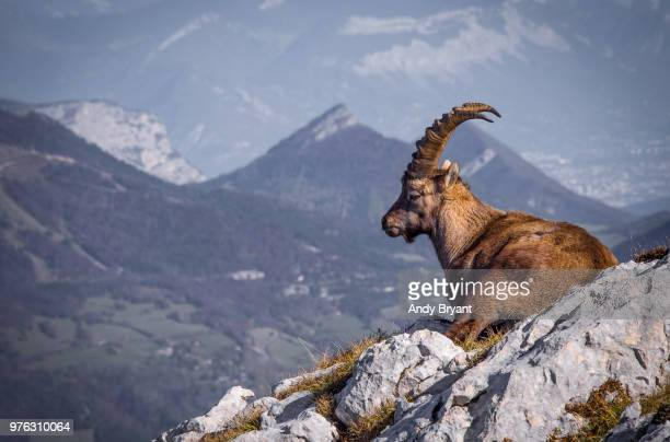 portrait of alpine ibex (capra ibex) relaxing, france - ibex ストックフォトと画像