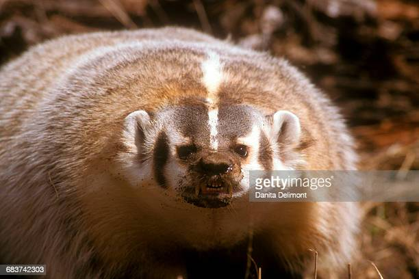portrait of american badger (taxidea taxus), montana, usa - american badger stock photos and pictures