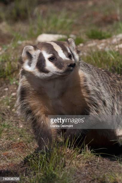 portrait of american badger (taxidea taxus) - american badger stock photos and pictures
