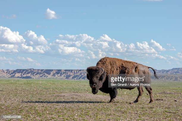 portrait of american bison bison bison standing in badlands national park, south dakota, united states - buffalo stock pictures, royalty-free photos & images