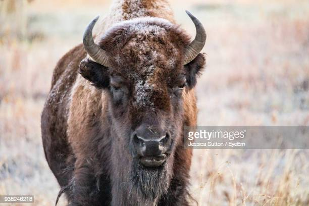 portrait of american bison standing on field - wild cattle stock photos and pictures