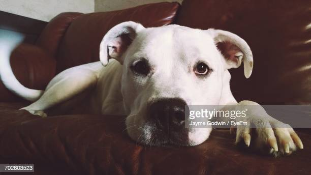 portrait of american bulldog relaxing on sofa at home - american bulldog stock photos and pictures