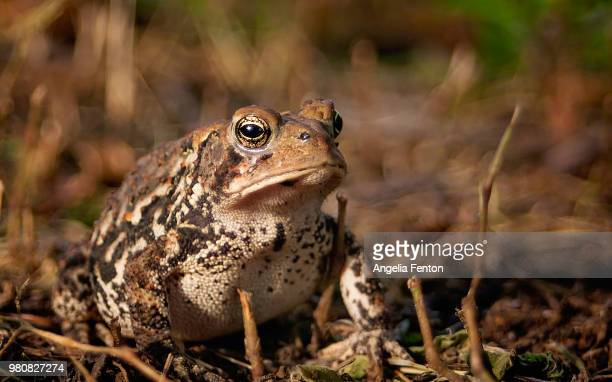 portrait of american bullfrog (lithobates catesbeianus) - bullfrog stock pictures, royalty-free photos & images