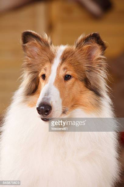Portrait of American Collie