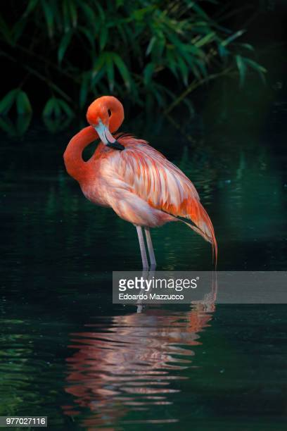 portrait of american flamingo standing in water - greater flamingo stock photos and pictures