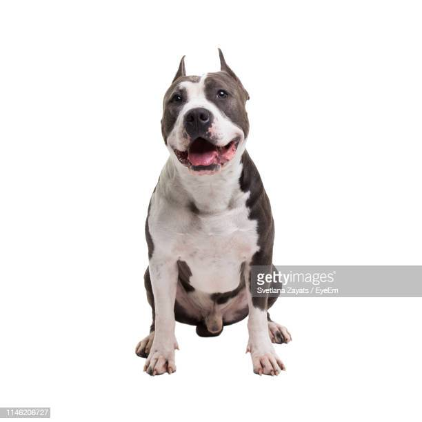 portrait of american pit bull terrier on white background - pit bull terrier stock pictures, royalty-free photos & images