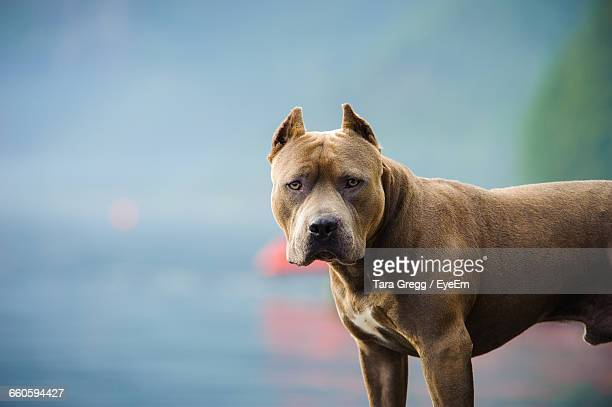 portrait of american pit bull terrier - pit bull terrier stock photos and pictures