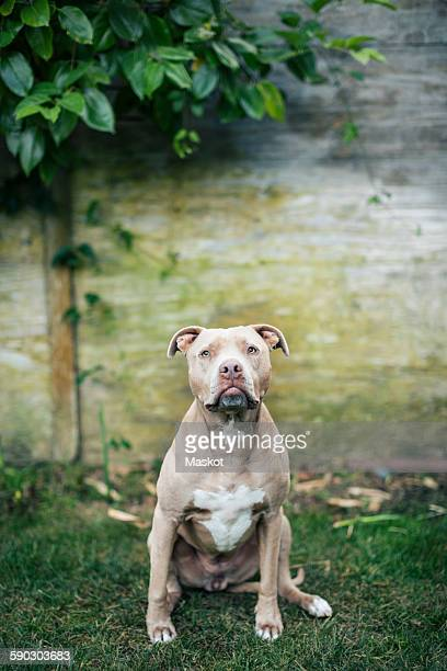 portrait of american pit bull terrier sitting at yard - american pit bull terrier stock pictures, royalty-free photos & images