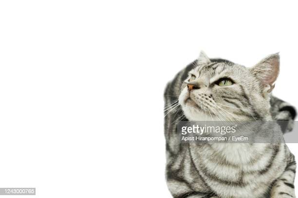 portrait of american shorthair cat with copy space isolated on white background. - shorthair cat stock pictures, royalty-free photos & images