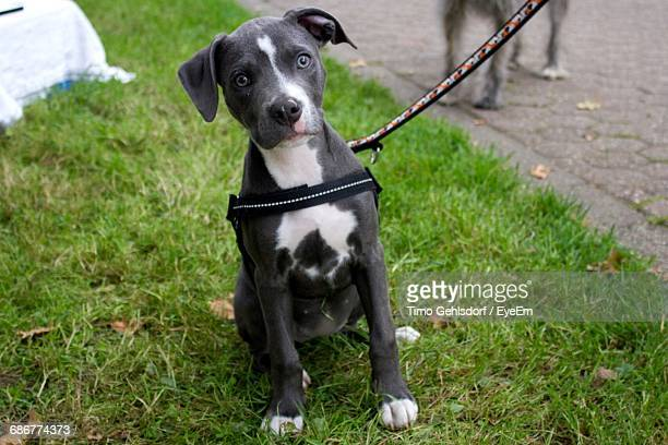 Portrait Of American Staffordshire Terrier Puppy Sitting On Field
