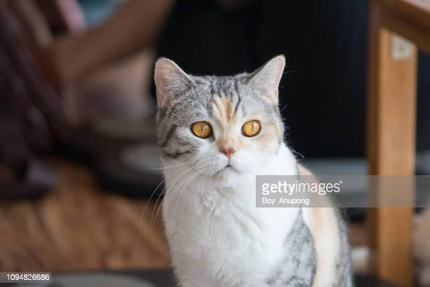 portrait of american wirehair cat. - tierkopf stock-fotos und bilder