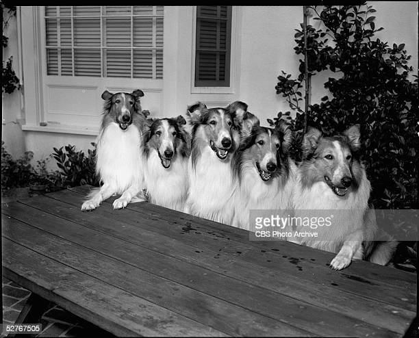 Portrait of America's favorite collie Lassie and his family from the CBS primetime series 'Lassie' huddled together on a picnic bench 1954 From left...