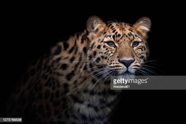 portrait of amur leopard in front of black background - dark panthera stock pictures, royalty-free photos & images