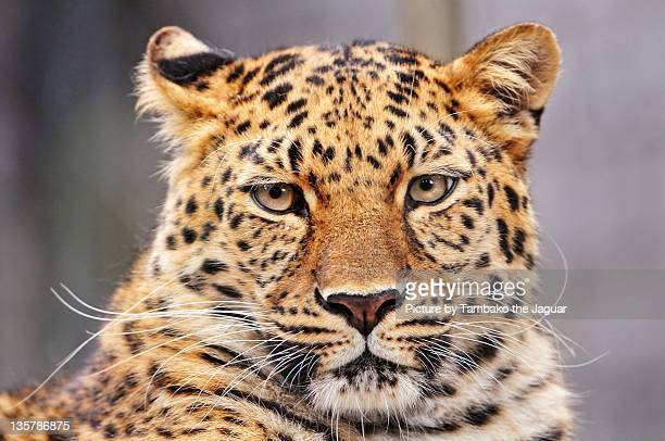 Portrait of Amur leopard