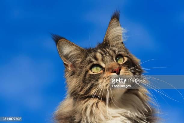 Portrait of an adult Maine Coon Cat.