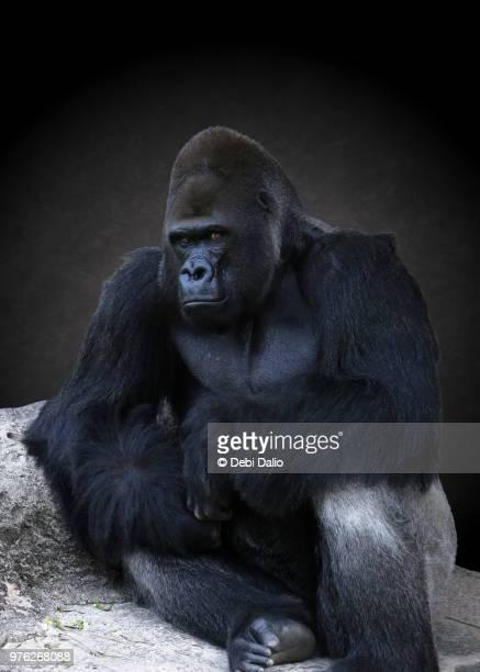 portrait of an adult male gorilla - ゴリラ ストックフォトと画像