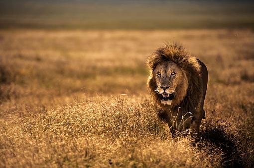 Portrait Of an adult Male Lion 1024670862