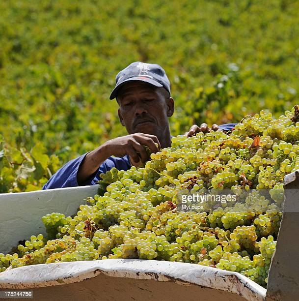 Portrait of an African casual worker sorting harvested grapes in the trailer in the Stellenbosch wine producing region South Africa
