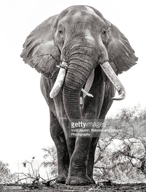 a portrait of an african elephant named boswell at mana pools, zimbabwe - big nose stock photos and pictures