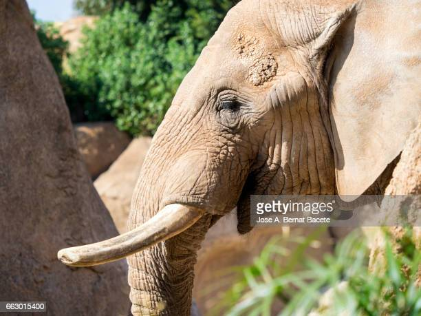 Portrait of an African elephant