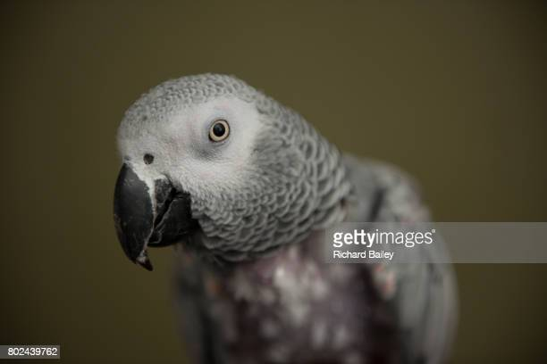 Portrait of an African Grey Parrot with feather loss