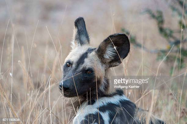 Portrait of an African wild dog in South Luangwa National Park in eastern Zambia