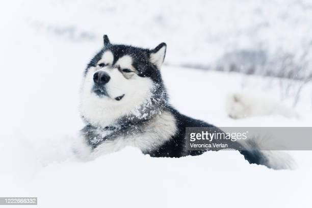 portrait of an alaskan malamute - マラミュート犬 ストックフォトと画像