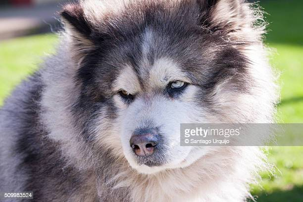 portrait of an alaskan malamute - malamute stock pictures, royalty-free photos & images