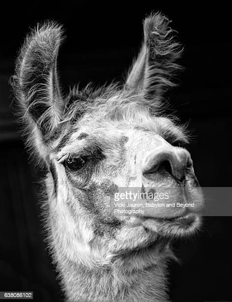 portrait of an alpaca in black and white at mattituck, long island - llama animal fotografías e imágenes de stock
