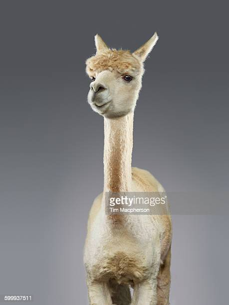 portrait of an alpaca - lama stock pictures, royalty-free photos & images