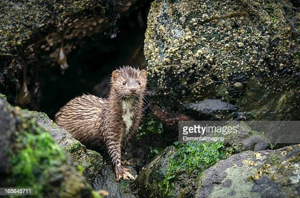 Portrait of an American Mink ((Mustela vison) in the Rain