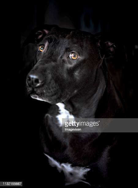Portrait of an American Staffordshire Terrier