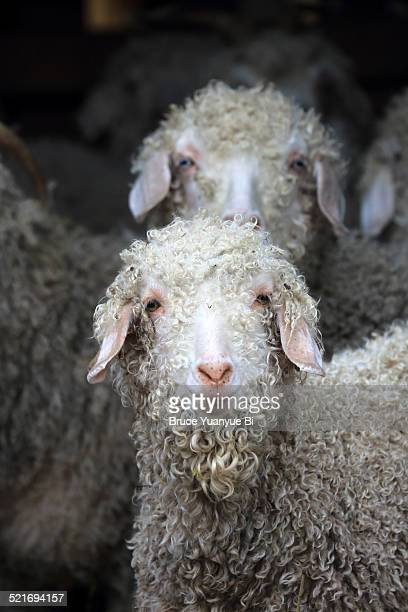 Portrait of an Angora Goat