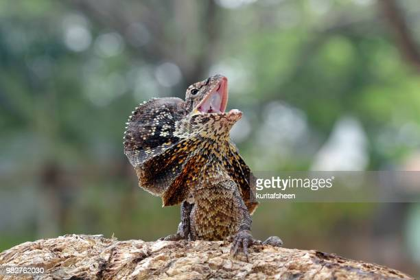 Portrait of an angry frill-necked lizard (Chlamydosaurus kingii)
