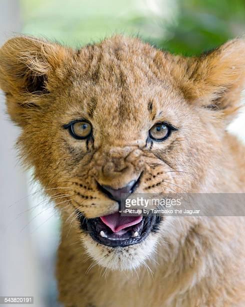 portrait of an angry lion cub - lion cub stock-fotos und bilder