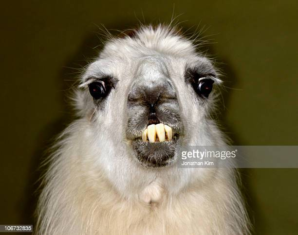 portrait of an angry llama.  - ugly teeth stock photos and pictures
