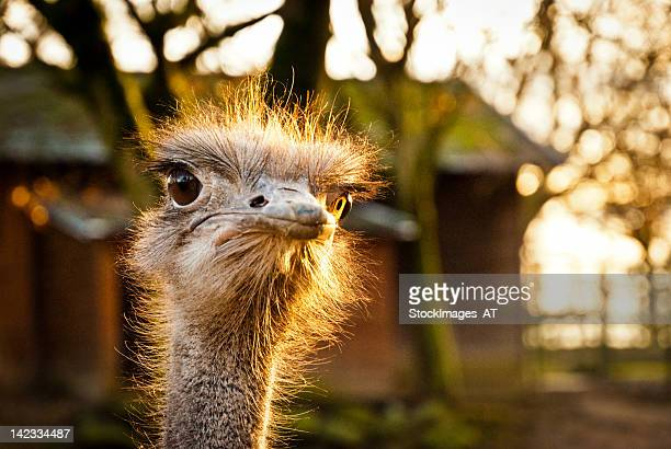 portrait of an angry ostrich - ugly bird stock pictures, royalty-free photos & images