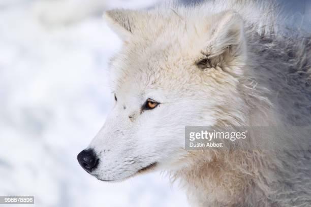 Portrait of an Arctic Wolf