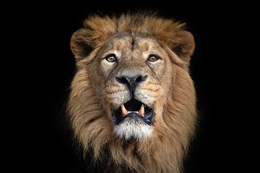 Portrait of an asiatic lion 1154995065