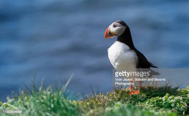 portrait of an atlantic puffin at grimsey island, iceland - rookery stock pictures, royalty-free photos & images