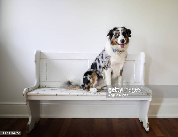 portrait of an australian shepherd - angela auclair stock pictures, royalty-free photos & images