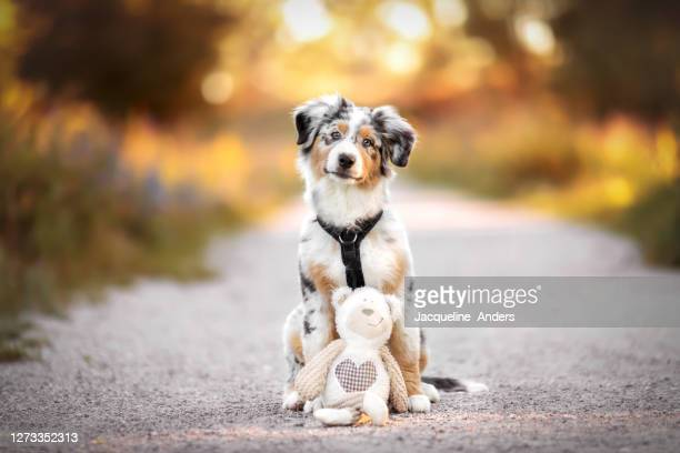 portrait of an australian shepherd puppy sitting on a footpath with his favorite toy - australian shepherd puppies stock pictures, royalty-free photos & images