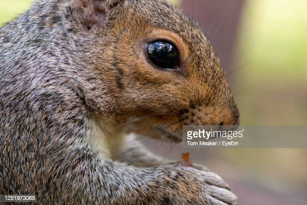 portrait of an eastern gray squirrel eating a nut. - taunton somerset stock pictures, royalty-free photos & images