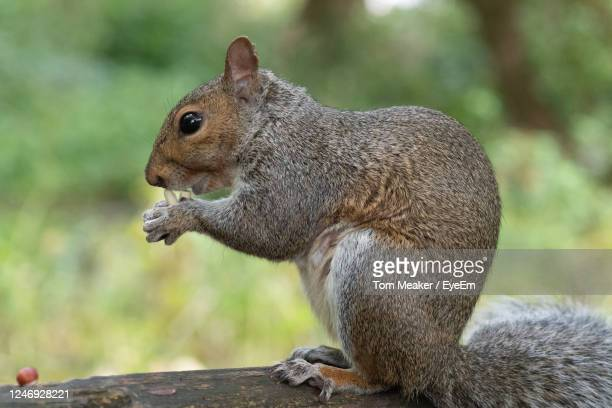 portrait of an eastern gray squirrel sitting on a park bench while eating a nut. - taunton somerset stock pictures, royalty-free photos & images